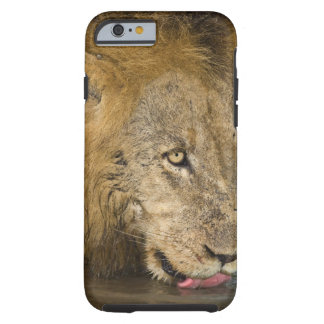 Male lion drinking, Greater Kruger National Tough iPhone 6 Case