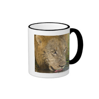 Male lion drinking, Greater Kruger National Ringer Coffee Mug
