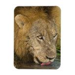 Male lion drinking, Greater Kruger National Vinyl Magnet