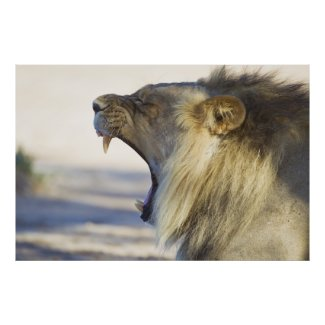 Male Lion Giving a Big Yawn or Growl Posters