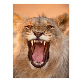 Male Lion Growling Postcard