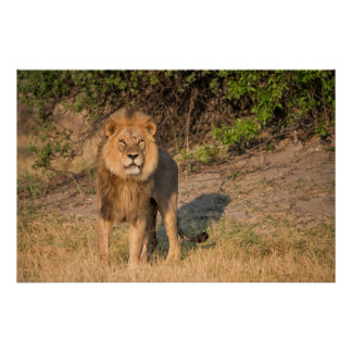 Male lion looking at viewer,in grassland poster