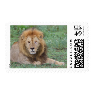 Male Lion Lying Down Postage