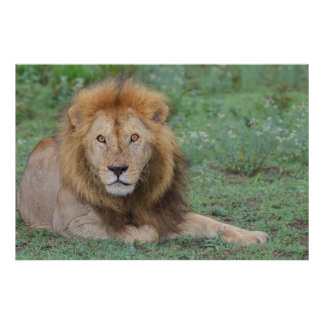 Male Lion Lying Down Poster
