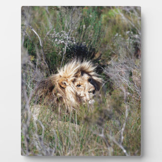 Male lion lying in long grass plaque