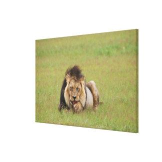 male lion, Panthera leo, cleaning itself, Canvas Print