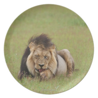 male lion, Panthera leo, cleaning itself, Melamine Plate