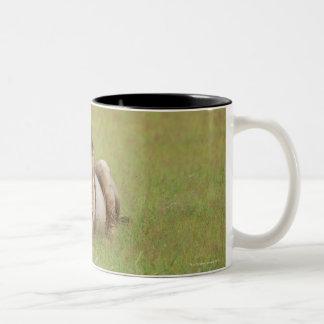 male lion, Panthera leo, cleaning itself, Two-Tone Coffee Mug