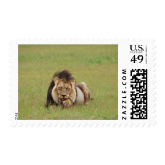 male lion, Panthera leo, cleaning itself, Stamp