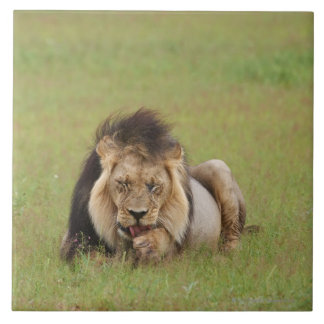 male lion, Panthera leo, cleaning itself, Large Square Tile