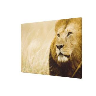 Male lion (Panthera leo) portrait, Masai Mara, Canvas Print