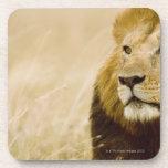 Male lion (Panthera leo) portrait, Masai Mara, Beverage Coasters