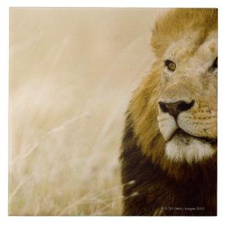 Male lion (Panthera leo) portrait, Masai Mara, Large Square Tile