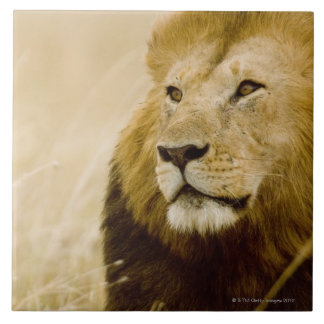 Male lion (Panthera leo) portrait, Masai Mara Large Square Tile