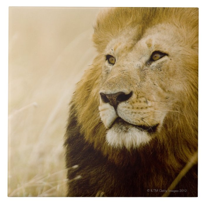 Male lion (Panthera leo) portrait, Masai Mara Tile