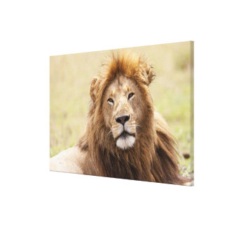 Male Lion Panthera leo) resting, Masai Mara Canvas Print