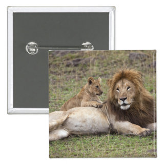 Male Lion Panthera leo) resting with cub, Button