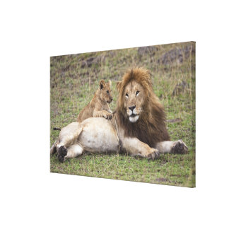 Male Lion Panthera leo) resting with cub, Canvas Print