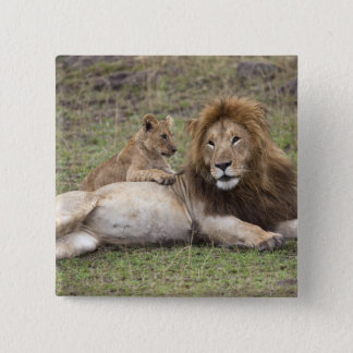 Male Lion Panthera leo) resting with cub, Pinback Button