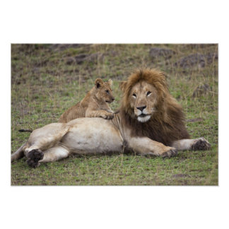 Male Lion Panthera leo) resting with cub, Poster