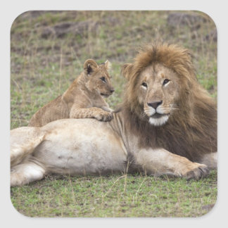 Male Lion Panthera leo) resting with cub, Square Sticker