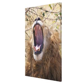 Male Lion (Panthera leo) yawning, Masai Mara Canvas Print