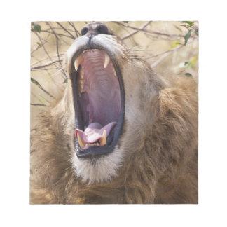 Male Lion (Panthera leo) yawning, Masai Mara Notepad