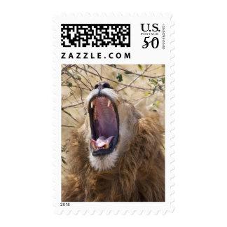 Male Lion (Panthera leo) yawning, Masai Mara Postage