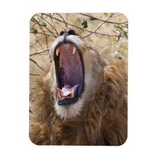Male Lion (Panthera leo) yawning, Masai Mara Rectangular Magnets
