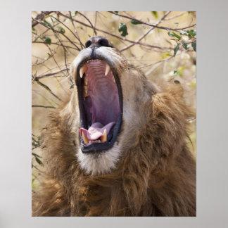 Male Lion (Panthera leo) yawning, Masai Mara Print