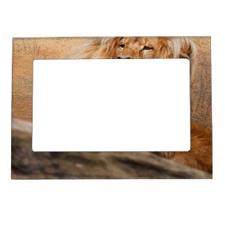 lion magnetic picture frames zazzle. Black Bedroom Furniture Sets. Home Design Ideas