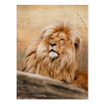 Male Lion Photo Postcard
