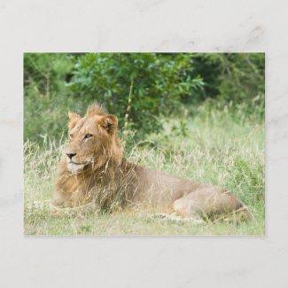 Male Lion postcard
