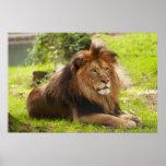 Male Lion Print