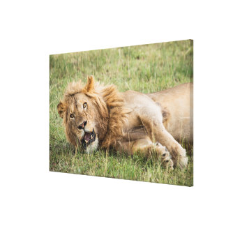 Male Lion Resting Canvas Print