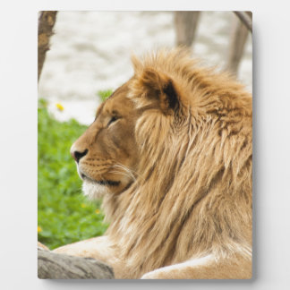 Male Lion Resting in Grass Plaque
