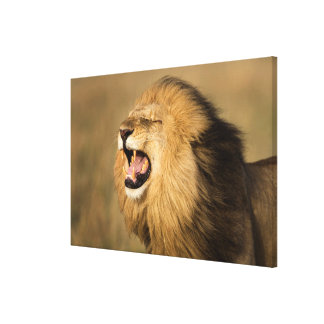 Male Lion Roaring Canvas Print