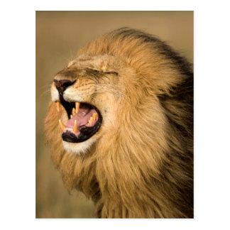 Male Lion Roaring Postcard