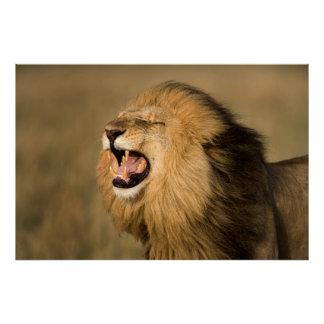 Male Lion Roaring Poster