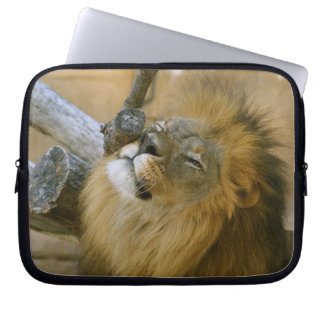 Male Lion Scratching Computer Sleeve