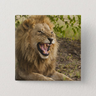 Male lion snarling (Panthera leo), Okavango Button