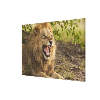 Male lion snarling (Panthera leo), Okavango Canvas Print