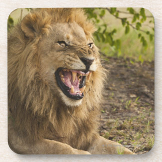 Male lion snarling (Panthera leo), Okavango Coaster