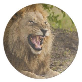 Male lion snarling (Panthera leo), Okavango Melamine Plate