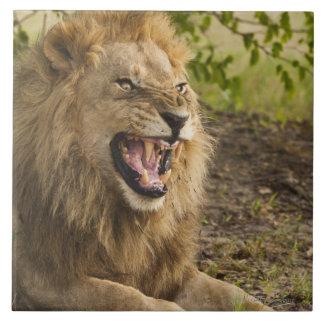 Male lion snarling (Panthera leo), Okavango Large Square Tile