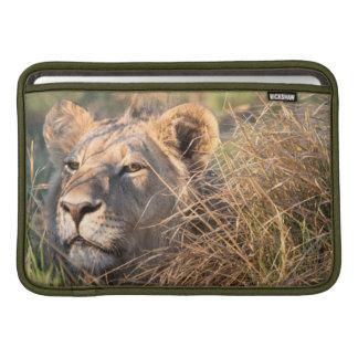 Male lion stalking in grass, head peeking out MacBook sleeve