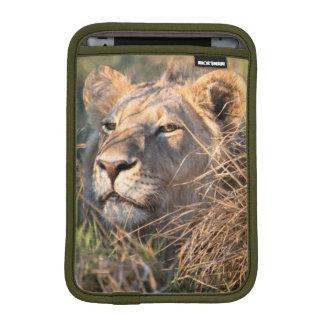 Male lion stalking in grass, head peeking out sleeve for iPad mini