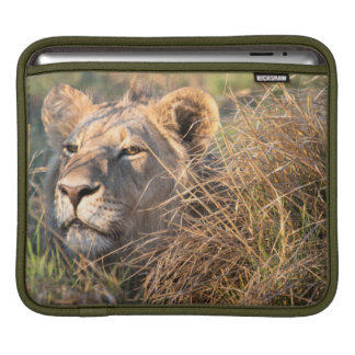 Male lion stalking in grass, head peeking out sleeves for iPads
