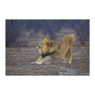 Male Lion Stretching Panthera Leo Yoga Canvas Print