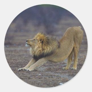 Male Lion Stretching Panthera Leo Yoga Classic Round Sticker